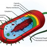 Mrs. Parks Biology Blog Page » Prokaryotic Cells