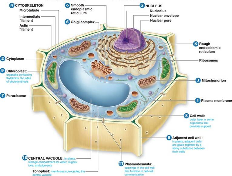 To explore eukaryotic cells virtually visit www.cellsalive.com . It is ...